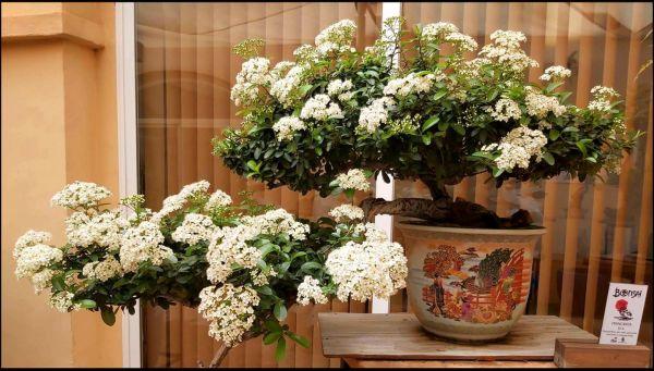 Pyracantha Bonsai in Bloom