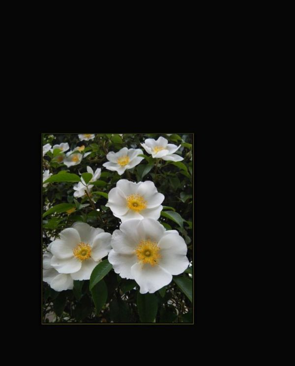 Camellia japonica Daijokhan
