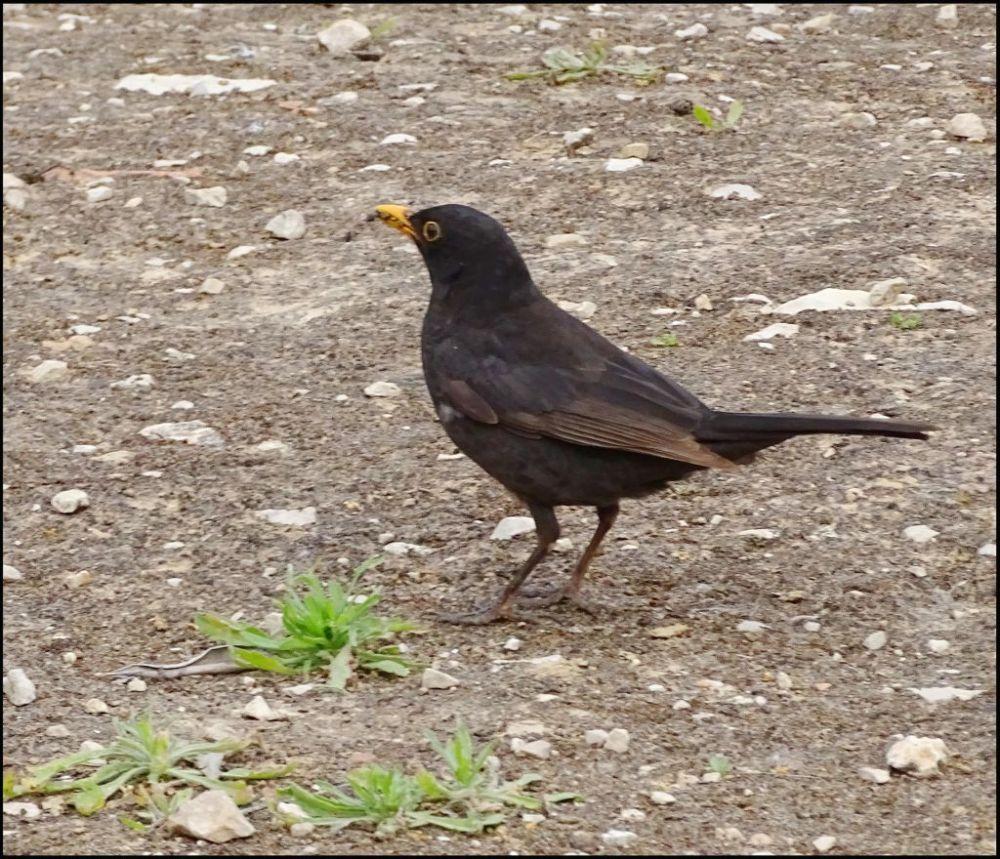 Common Blackbird in Oliva Public Garden