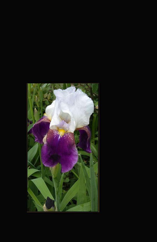 japanese Iris Flower