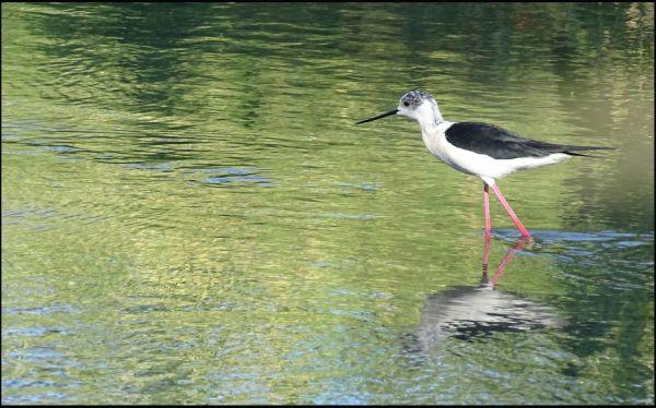 Black-Winged Stilt in The Creek