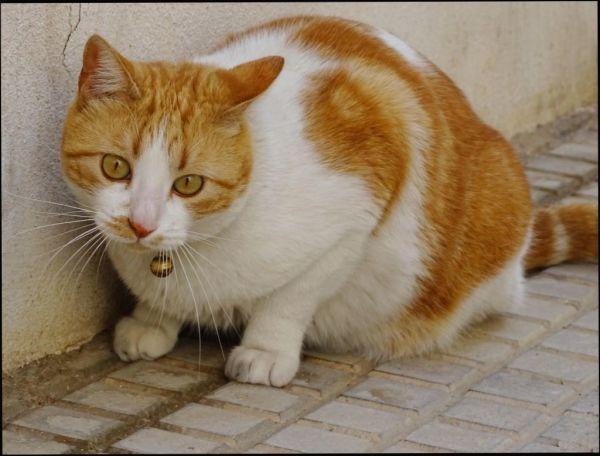 Neighbor's Cat Pancho