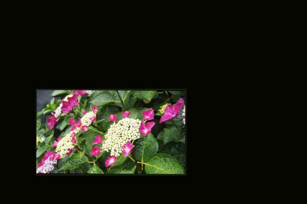 Japanese Hydrangea (Ajisai)