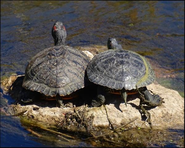 Sunbathing Pair of Red-eared Siders  in The Creek