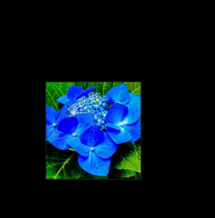 Japanese Hydrangea Blue (Ajisai)