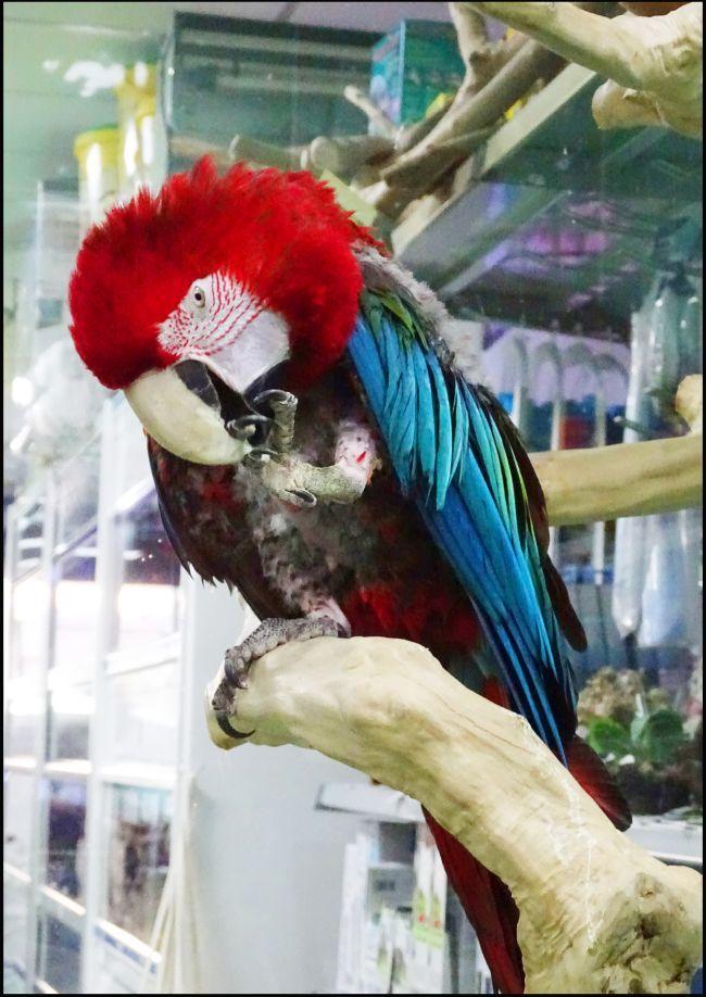 Pet Store Parrot Cro chan