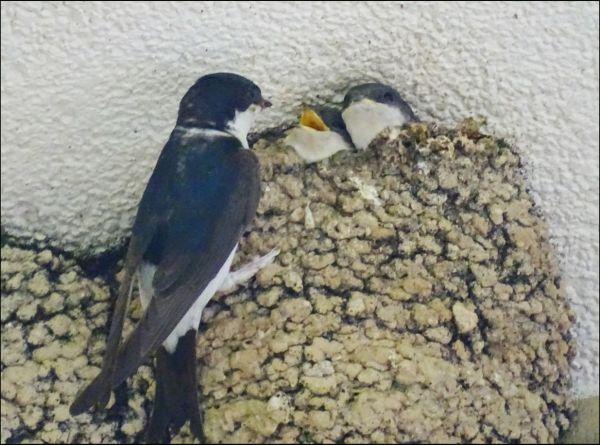Barn Swallow Chicks Feeding Time