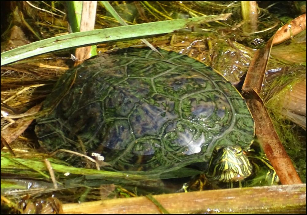Red-Eared Sider in  Native Water Plants