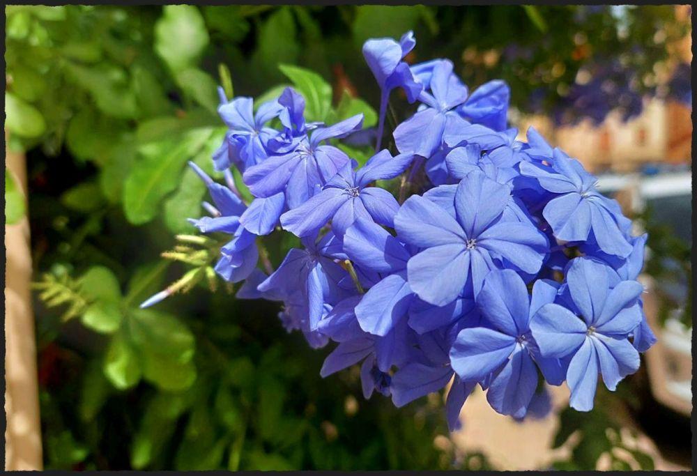 Purple Jasmine Flowers