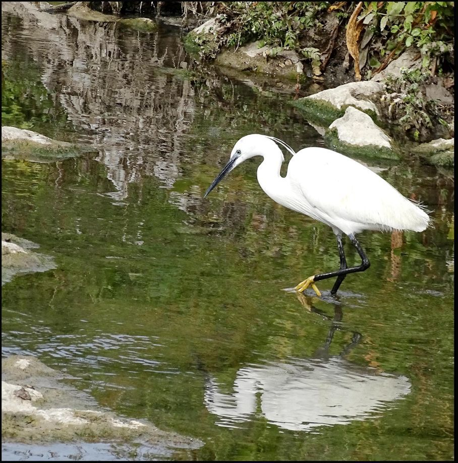 Great Egret in The Brook