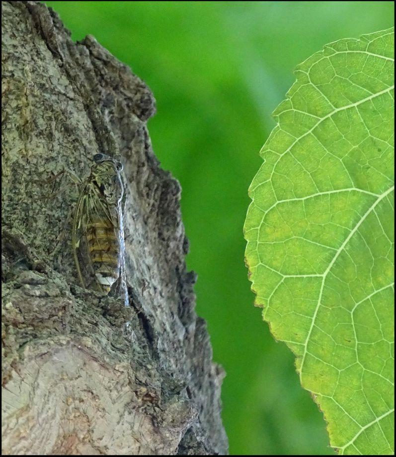 Cicada Camouflage