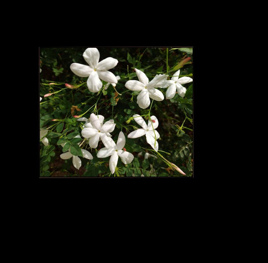 Flowering Jasmine