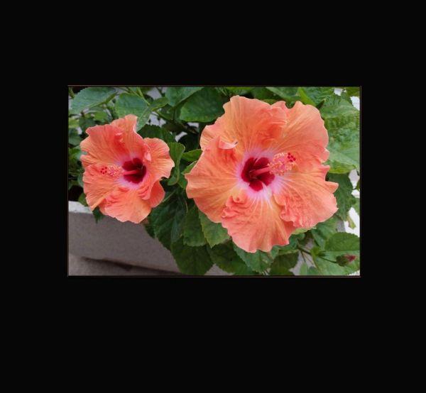 Bright Orange Hibiscus