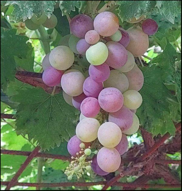Grape Harvest Season in The Farmyard