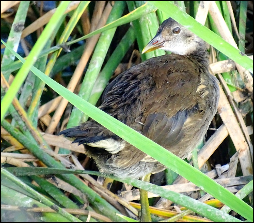 Common Gallinule Chick in The Aquatic Plants
