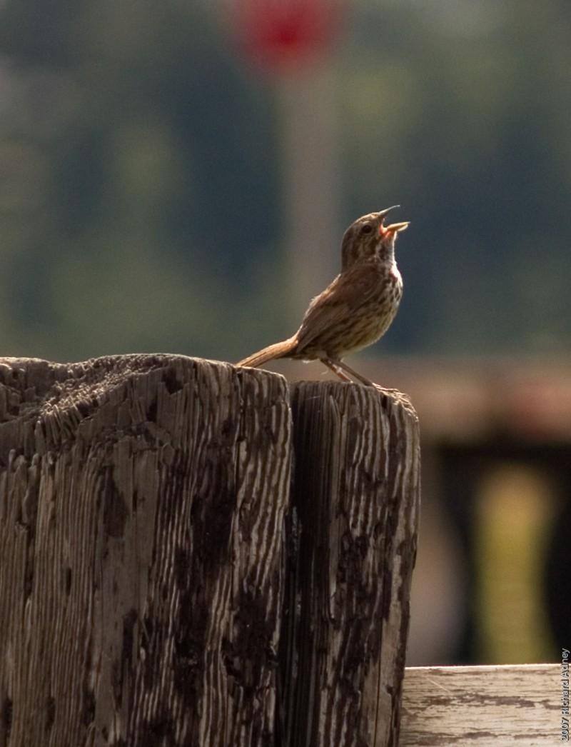 A singing sparrow
