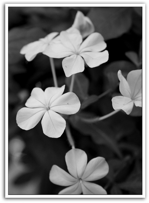 little flowers in black and white
