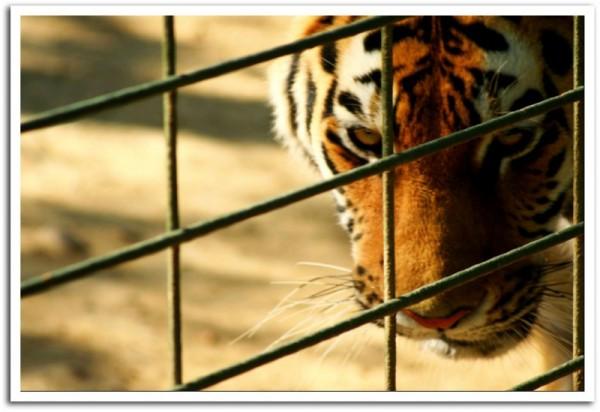 A sad tiger