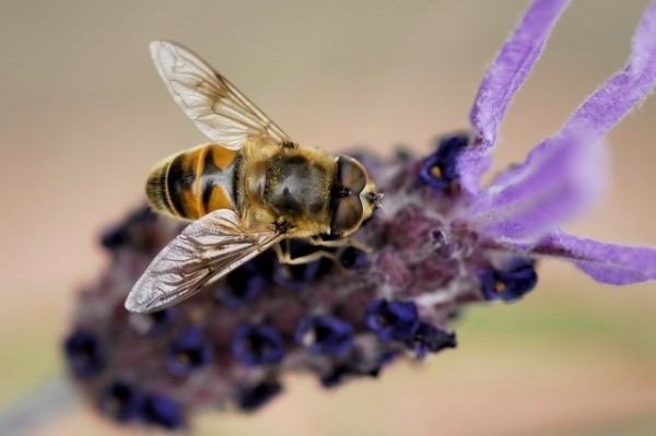 a bee on a lavender