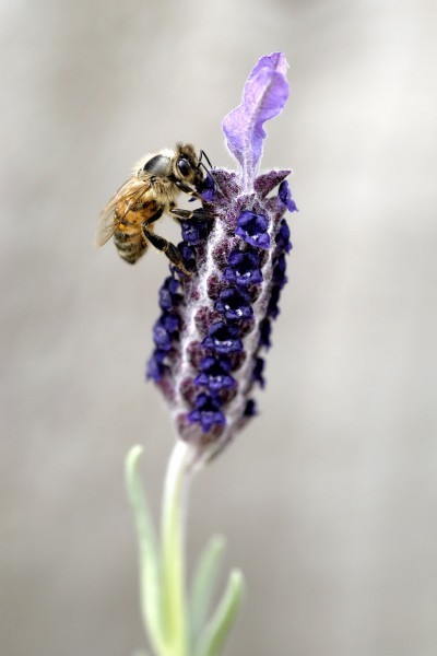 bee on a lavender
