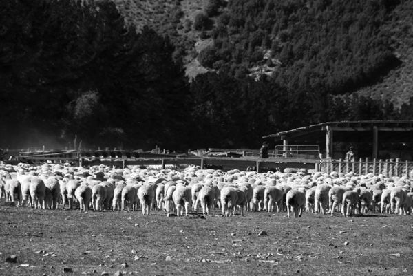 Sheep Farming
