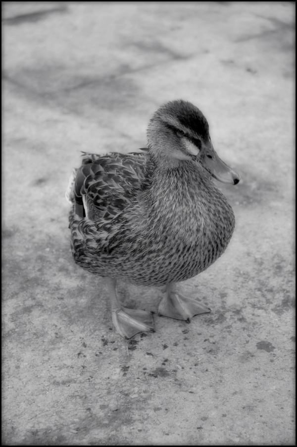 A Baby Duck in Black and White
