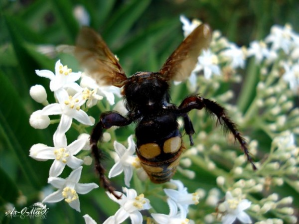 Vespid/زنبور خرمائی