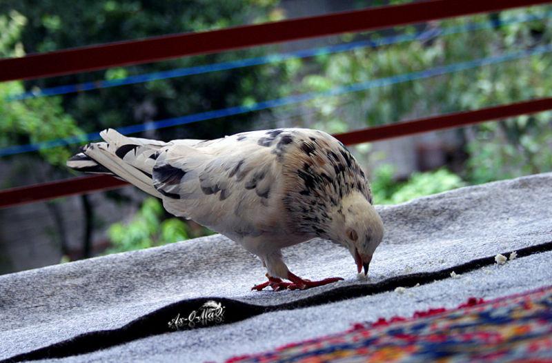 homin-pigeon