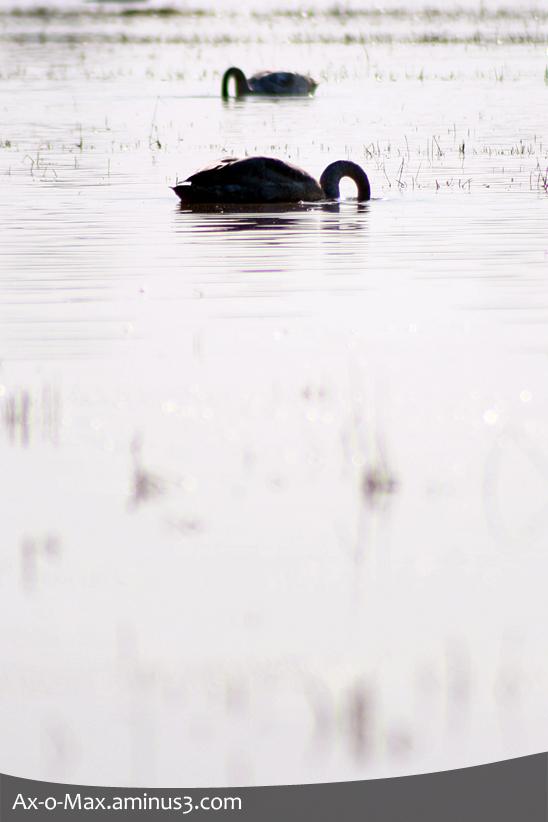 Siberian Swan