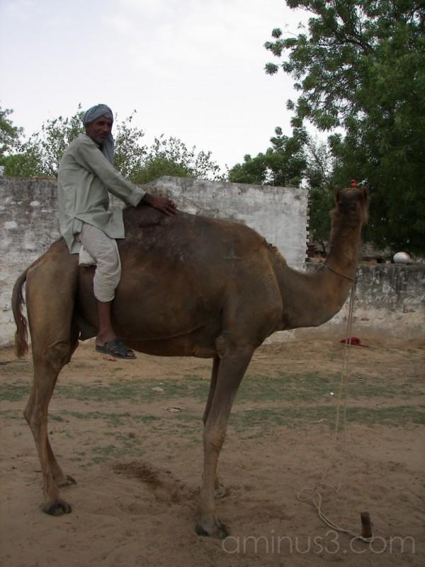 Rewari camel riding india rural life