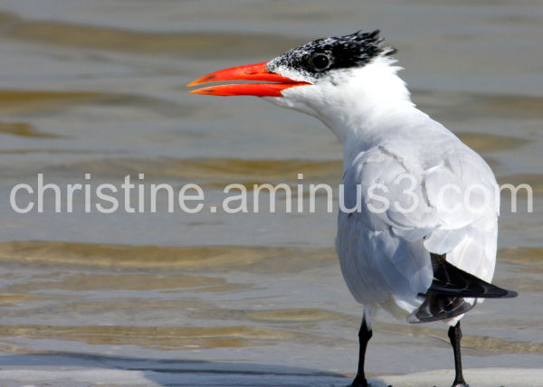 the royalty of the tern family