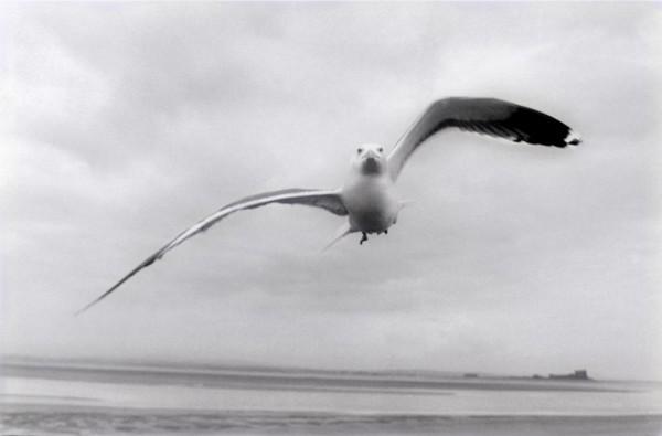 HERRING GULL WALNEY ISLAND