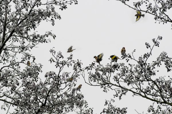 GOLDFINCHES IN AN ALDER TREE