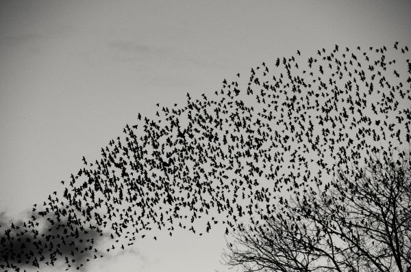 STARLINGS COMING IN TO ROOST