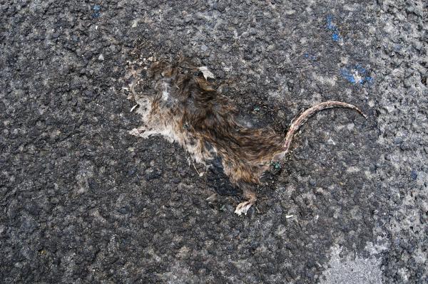 RAT FLAT