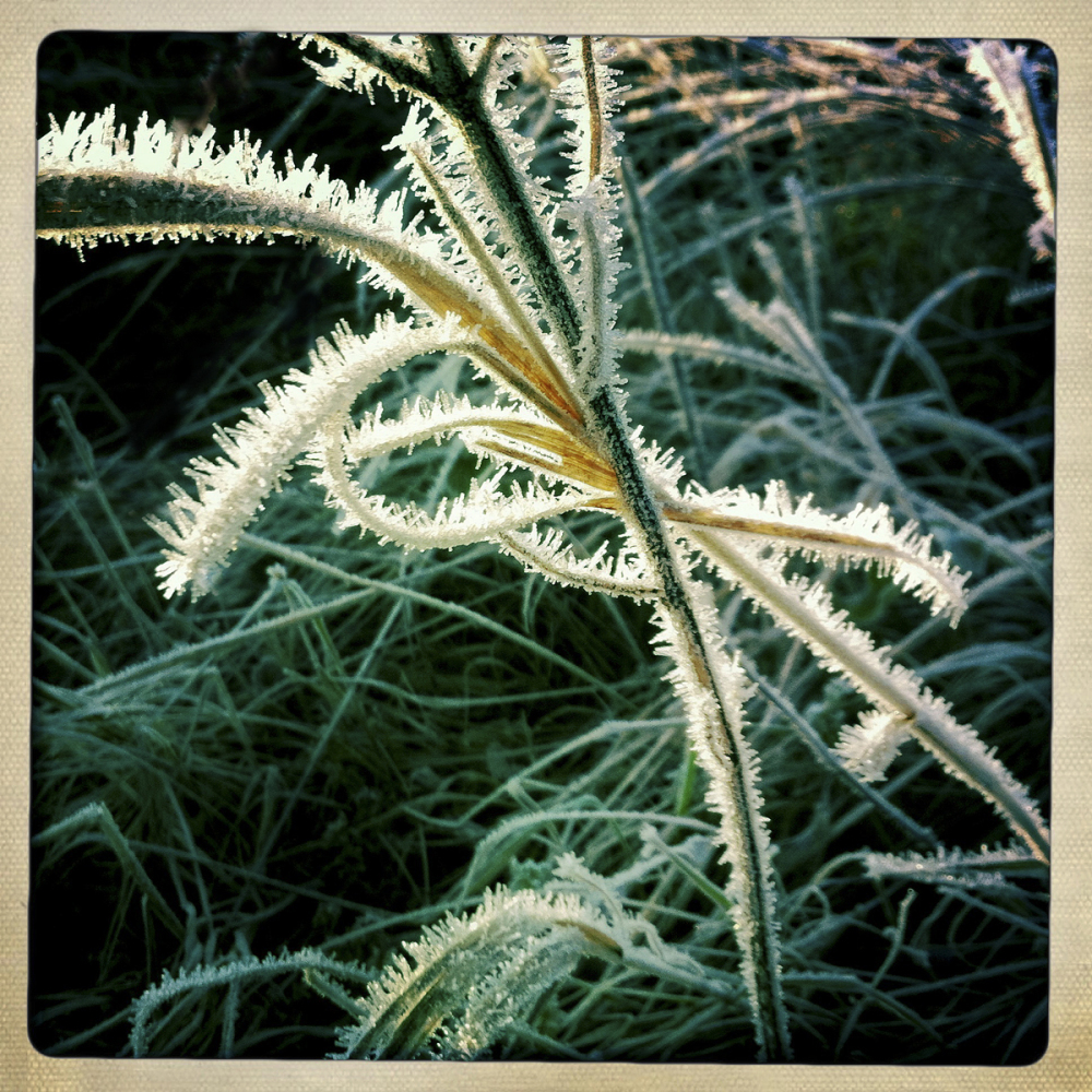 FROSTY PLANT #2