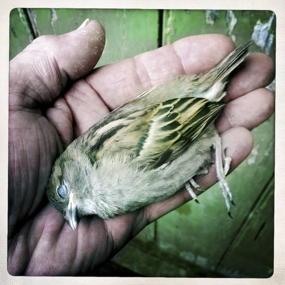 THE SPARROW THAT DIED IN MY HAND