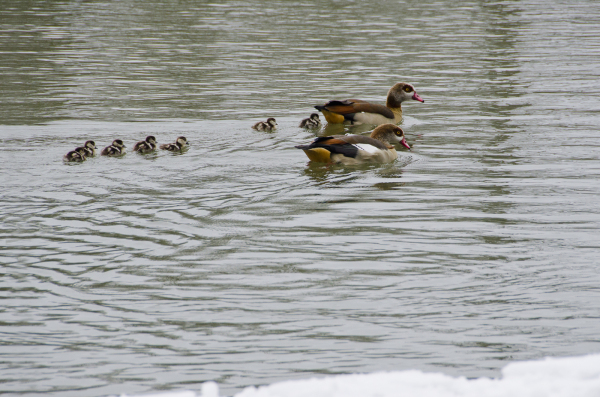 EGYPTIAN GEESE WITH THEIR SEVEN GOSLINGS