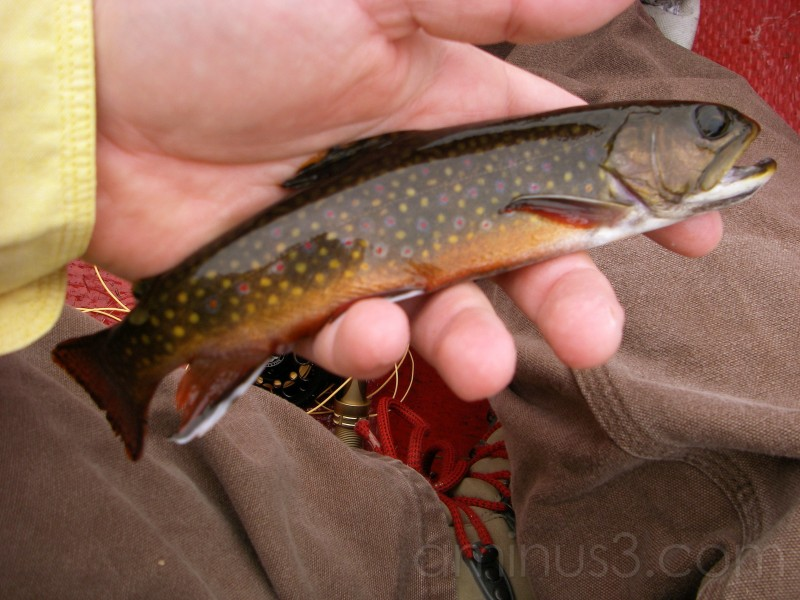 Sweet Brook Trout?