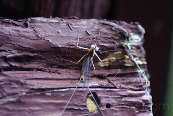 Maine Mayfly