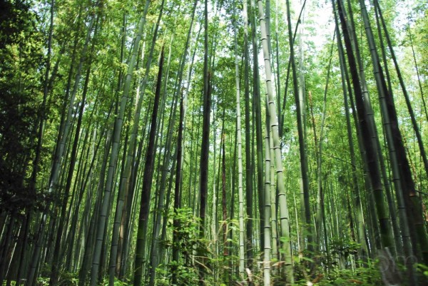 Bamboo forest (2)