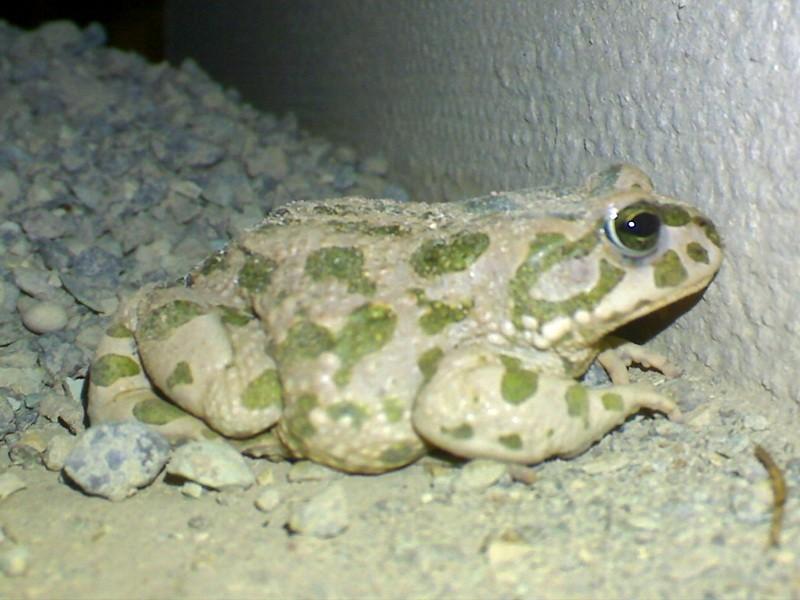 وزغ کوچولو Small Toad