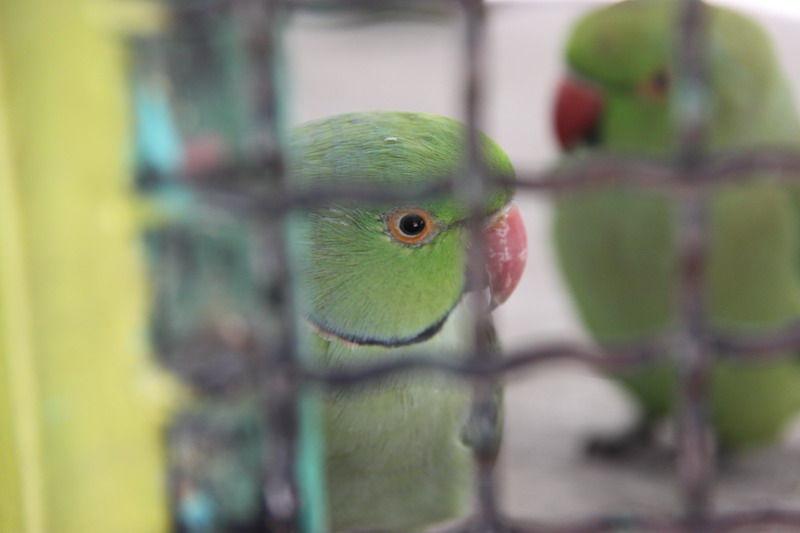 طوطی Parrot