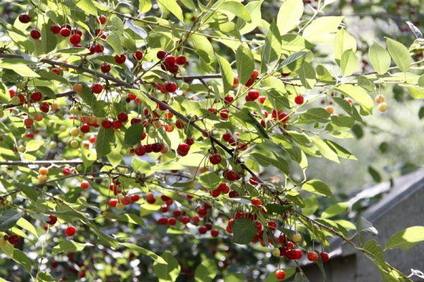 Cherry Tree درخت آلبالو