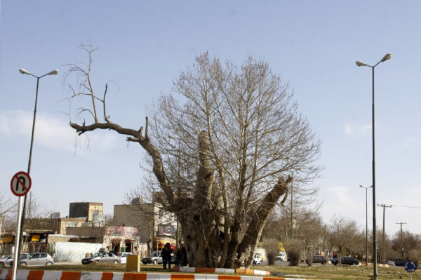 Huge Buttonwood tree in the Shahrood city