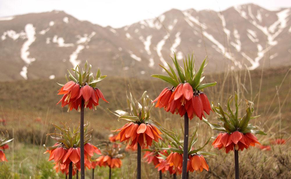 لاله واژگون گلستانکوه خوانسار
