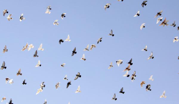 کبوترای شهرضا