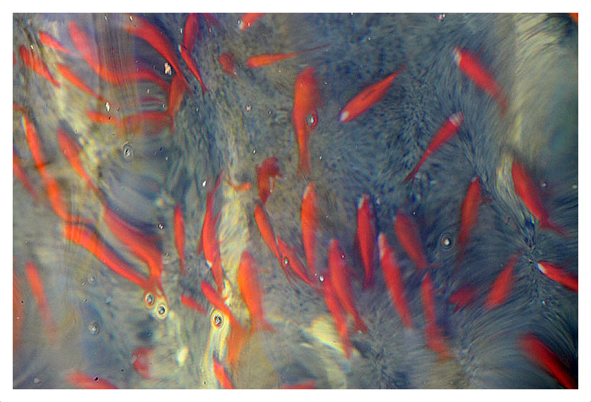 Goldfishes ماهی قرمز