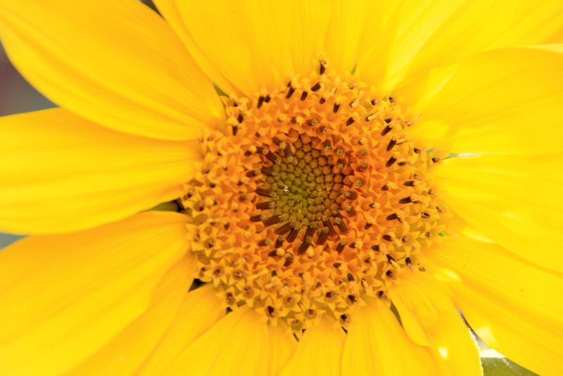 Sunflower گل آفتابگردان
