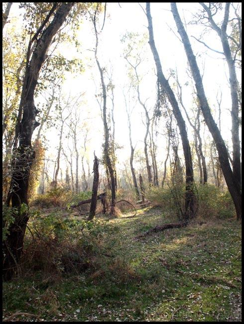 nestos forest I